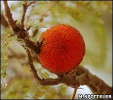 Dawadawa flower (Miranda Spitteler/Tree Aid)