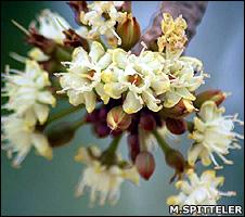 Shea flowers (Miranda Spitteler/Tree Aid)