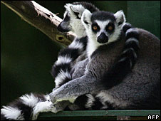 File photo of lemurs in Madagascar