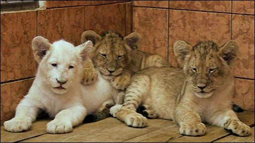 Some of the lion cubs
