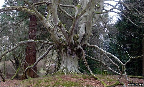 Layering beech at Kilravock