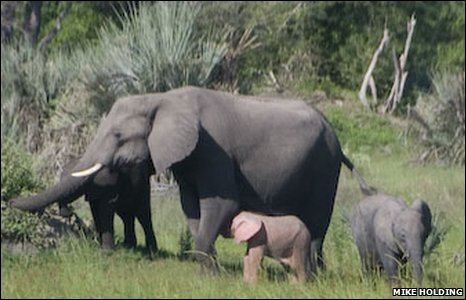 Baby pink elephant in Botswana