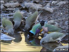 Family of Gouldian finches