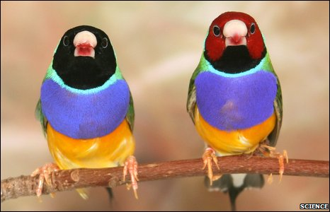 Two male Gouldian finches