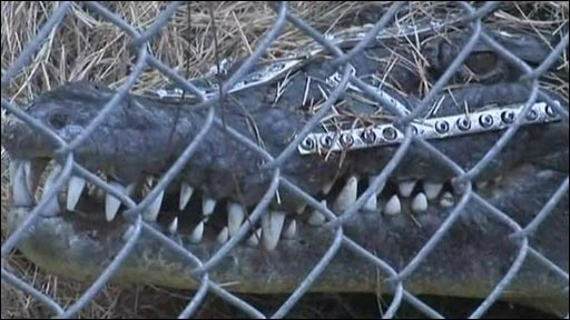 Crocodile whose face was fixed by surgeons in the United States