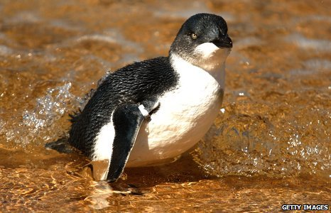 North, a little penguin, Sydney, Australia. North, an adult Little Penguin, ...