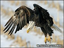 Bald eagle (Image: Wilber Suiter/Cornell Laboratory of Ornithology)
