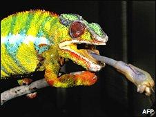 Male chameleons
