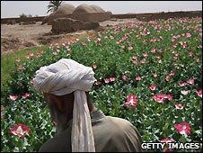 Poppy field in Farah province of southwest Afghanistan - 19/3/3009