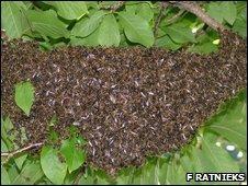 Swarming bees, picture courtesy F Ratnieks