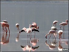 File pic of flamingos at Lake Nakuru