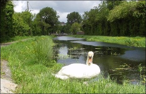 Swan by the canal at Old Cwmbran. Photo by Dennis T Baker.