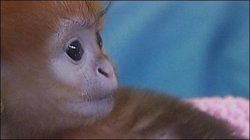 Elke, oranged haired monkey