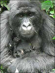 Female gorilla and its infant (Image: Gorilla.cd)