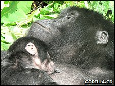 Female gorilla feeding its infant (Image: Gorilla.cd)
