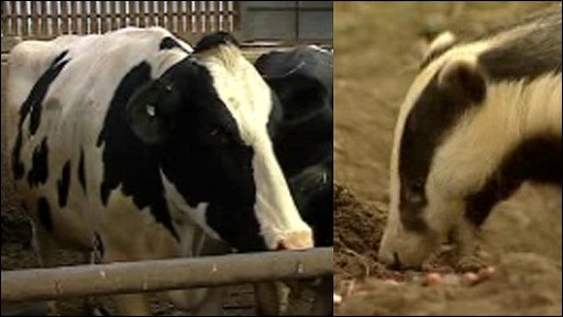 Cow, badger