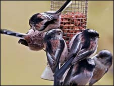 Long-tailed tits (pic: Peter Beesley)