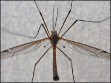 Cranefly