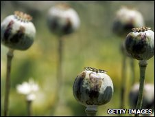 Poppy bulbs