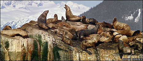 Seals on polluted rocks