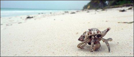 Hermit Crab (BBC)
