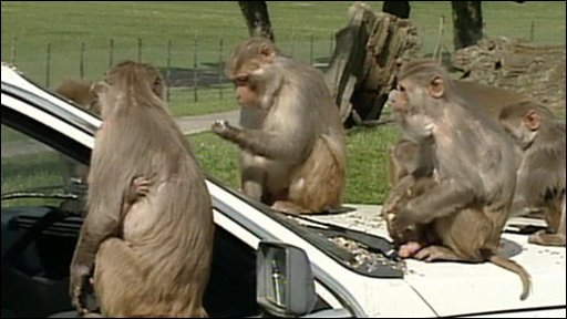 Monkeys on a car at Longleat Safari Park