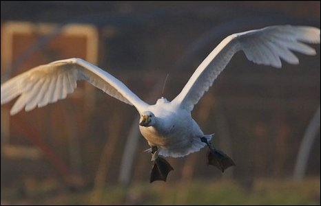 Whooper swan - Picture courtesy WWT
