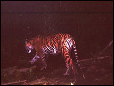 Salma the tiger (pic courtesy of  Zoological Society of London)