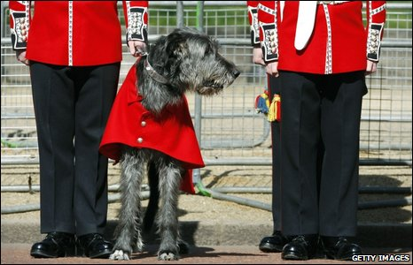 A wolfhound is dressed in military colours