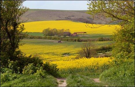 Rape seed oil in cultivation near Berwick