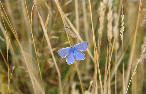 Common Blue butterfly on the South Downs near Eastbourne