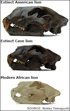 Skulls of three lions
