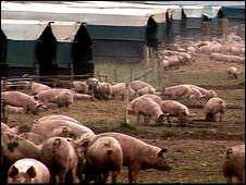 Pigs on the farm before the theft