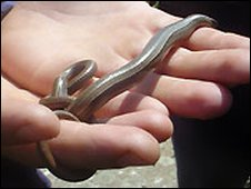 Slow worm on Flat Holm