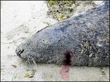 Dead seal with bullet hole in head