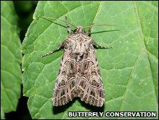 Bordered gothic moth