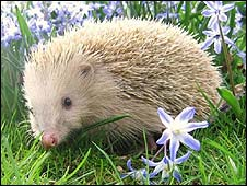 The female blonde hedgehog