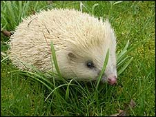 The male blonde hedgehog