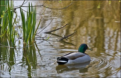 A duck at the Wildfowl and Wetlands Trust in Llanelli (Gareth Shaw)