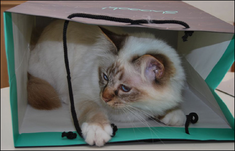 Margot the Birman cat in a bag (Nick Morgan)