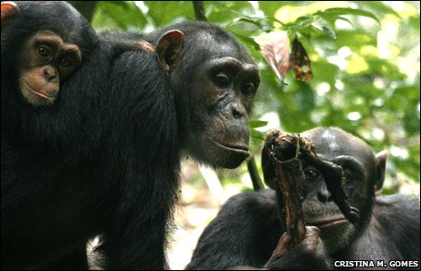 Male chimp shares meat with female
