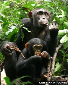 Female chimp and baby