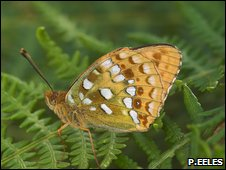 High Brown Fritillary (Peter Eeles)