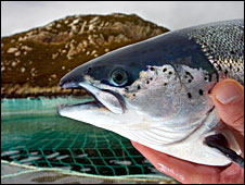 Farmed salmon (pic: Scottish Salmon)