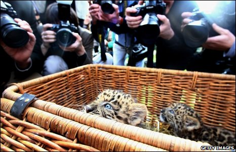 Ttwo six-week-old North Chinese Leopards peer up from their basket in Hamburg, Germany