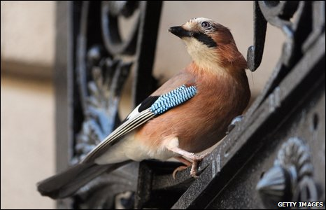 A jay nesting near Downing Street, London