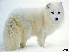 Arctic fox (SPL)