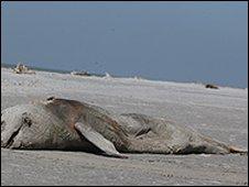 Dead Irrawqaddy dolphin in Bangladesh
