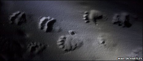 Polar bear tracks (Martin Hartley)