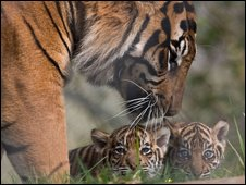 Banda with two of her cubs